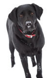 Black labrador dog isolated Stock Photos