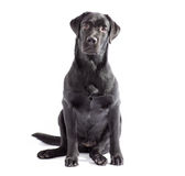 Black labrador dog isolated on white. Black labrador dog sitting and watching on you. Isolated on white Royalty Free Stock Image