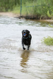 Black Labrador Dog Playing in the Water. This is an image of a black Labrador dog playing in the water with a ball in his mouth Royalty Free Stock Images
