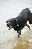 Black Labrador Dog Playing in the Water. This is an image of a black Labrador retriever playing fetch with a ball in the water Stock Photography