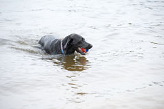 Black Labrador Dog Playing in the Water. This is an image of a black Labrador retriever playing fetch with a ball in the water Royalty Free Stock Image