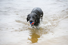 Black Labrador Dog Playing in the Water Royalty Free Stock Photos