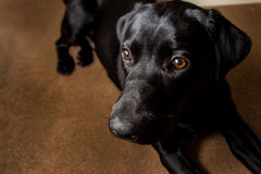 Black labrador. Black dog portrait Stock Image