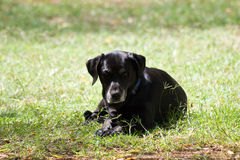 Black Labrador dog resting in the grass. Royalty Free Stock Images