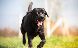 Black labrador dog running. In the park stock image