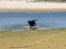 Labrador dog running and playing alone in the water Royalty Free Stock Photos
