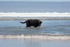 Black Labrador Dog. San Diego Dog Beach. California. A black labrador retriever playing in the ocean at Dog Beach in San Diego, CA Royalty Free Stock Photos