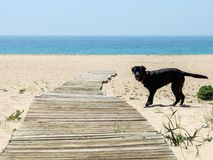 Labrador dog in the sand of the beach with the sea in the background Royalty Free Stock Photography