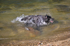 Black labrador dog shakes water Stock Image