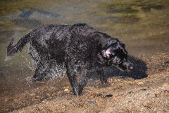 Black labrador dog shakes water Royalty Free Stock Image