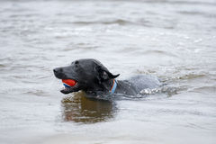 Black Labrador Dog sitting on the shore of a pond. This is image of a black labrador retriever dog swimming with a ball in his mouth Stock Photos