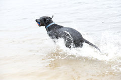 Black Labrador Dog sitting on the shore of a pond. This is image of a black labrador retriever dog swimming in the water with a ball that he has retrieved Stock Image