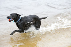 Black Labrador Dog sitting on the shore of a pond. This is image of a black labrador retriever dog swimming in the water with a ball that he has retrieved Stock Photos