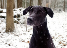 Black Labrador dog in snow. A closeup portrait of an alert Black Labrador dog enjoying the outdoors on a snowy day Royalty Free Stock Photo