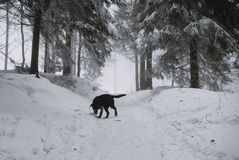 Black Labrador dog in the snow in forest royalty free stock photo