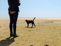 Black Labrador dog walking on the beach with a woman Royalty Free Stock Image