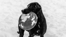 Black Labrador Dog Wanting to Play in the Snow Royalty Free Stock Image