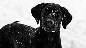 Black Labrador Dog Wanting to Play in the Snow Royalty Free Stock Photography