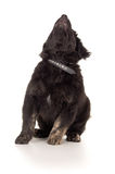 Black labrador dog is  Royalty Free Stock Images