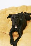 Black labrador dog on yellow cushion Stock Photo