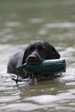Black Labrador with dummy Stock Images