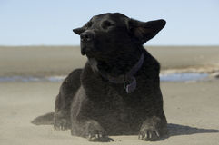 Black labrador enjoying the breeze at the beach Royalty Free Stock Image