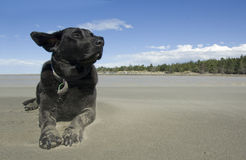 Black labrador enjoying the breeze at the beach Royalty Free Stock Photos