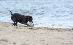 Black Labrador fetching stick on beach. Black labrador dog fetching stick on the beach Stock Photos
