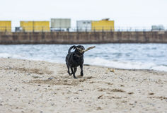 Black Labrador fetching stick on beach. Black labrador dog fetching stick on the beach Royalty Free Stock Image