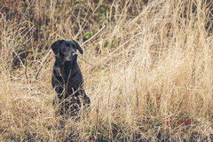 Black Labrador in Field Stock Photos