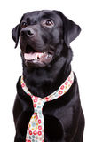Black labrador in a flowered tie Royalty Free Stock Images