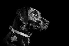 Black Labrador Dog in Black and White Portrait royalty free stock photography