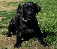 Black Labrador in Grass. Black Lab Laying in Grass Royalty Free Stock Photos