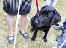 Black labrador guide dog Stock Photo