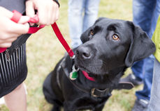 Black labrador guide dog. Before the last training for the animal. The dogs are undergoing various trainings before finally given to the physically disabled royalty free stock photos