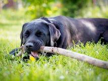 Black labrador. Happy black labrador engrossed in his favorite pastime Stock Images