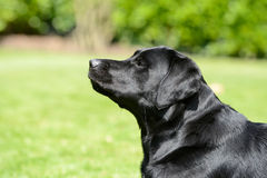 Black labrador Royalty Free Stock Photos