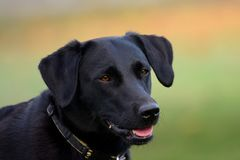 Black Labrador head shot. Headshot of a cute black Labrador with a green background Royalty Free Stock Image