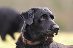 Black Labrador headshot. Close up headshot of a cute black Labrador sitting in a field Stock Photos