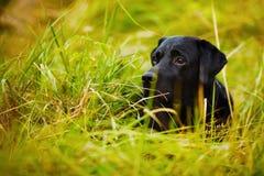 Black Labrador hiding in the grass Royalty Free Stock Photos