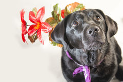 Black labrador holding a flower, looking up Stock Images