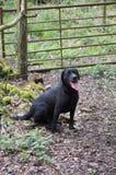Black labrador Royalty Free Stock Image