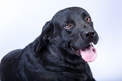 Black Labrador isolated Royalty Free Stock Image