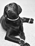 Black labrador in jewelry. Black labrador retriever dress up in jewelry  looking like the Diva she is Royalty Free Stock Photo