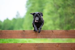 Black labrador jumping royalty free stock photography