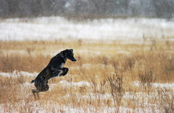 Black labrador jumping in the snow Royalty Free Stock Photo