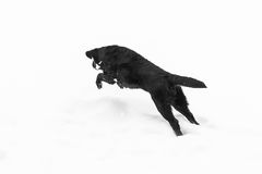 Black Labrador jumping on the white snow Royalty Free Stock Photography
