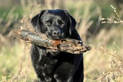 Black Labrador with large stick Royalty Free Stock Photography