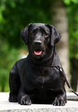 Black Labrador laying Royalty Free Stock Photography
