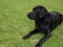 Black labrador laying on grass Stock Photo